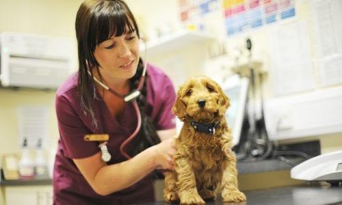 Vet listening to puppy's heart